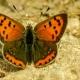 Beneklibakırgüzeli Kelebeği