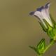Lir biçimli çan çiçeği