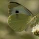 Büyük Beyazmelek Kelebeği