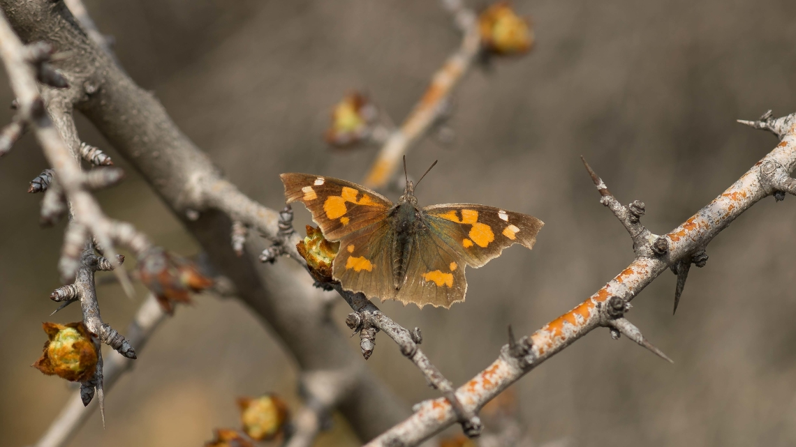Çitlembik Kelebeği 034