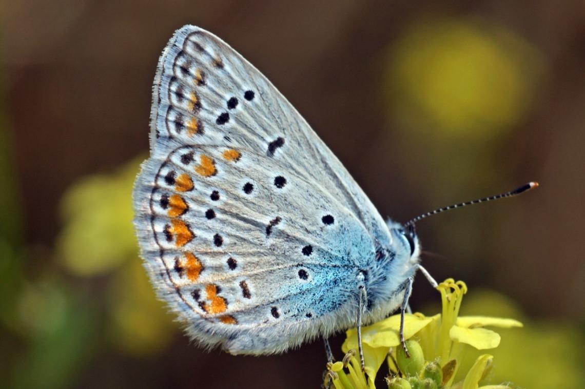 Çokgözlü Mavi