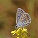 Çokgözlü Mavi / Polyommatus ıcarus