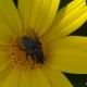 Çiçek ve Sinek