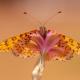 Güzel İparhan Kelebeği
