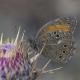 Ağaç Esmeri Kelebeği