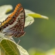 Çift Kuyruklu Paşa Kelebeği