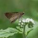 Cüce Zıpzıp Kelebeği
