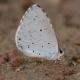 Kutsal Mavi Kelebeği