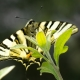 Kıt Swallowtail