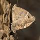 Anadolu Karameleği Kelebeği