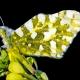 Dağ Oyklösü Kelebeği