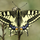 Kırlangıçkuyruk Kelebeği