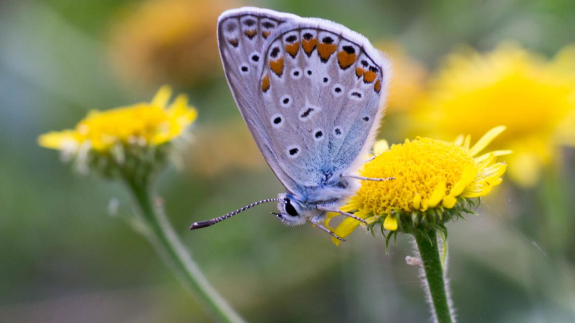 Çokgözlü Menekşe Mavisi Kelebeği