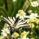 İzmir Kelebekleri