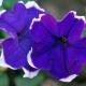Borazan Çiçeği
