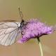 Alıç Kelebeği