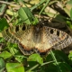 Yalancı Apollo Kelebeği