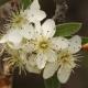 Ahlat Ağacı Çiçeği
