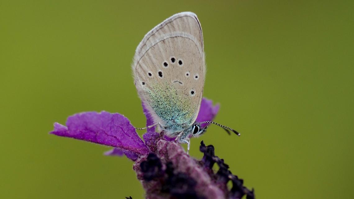 Karagözmavisi Kelebeği