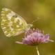 Yeni Beneklimelek Kelebeği