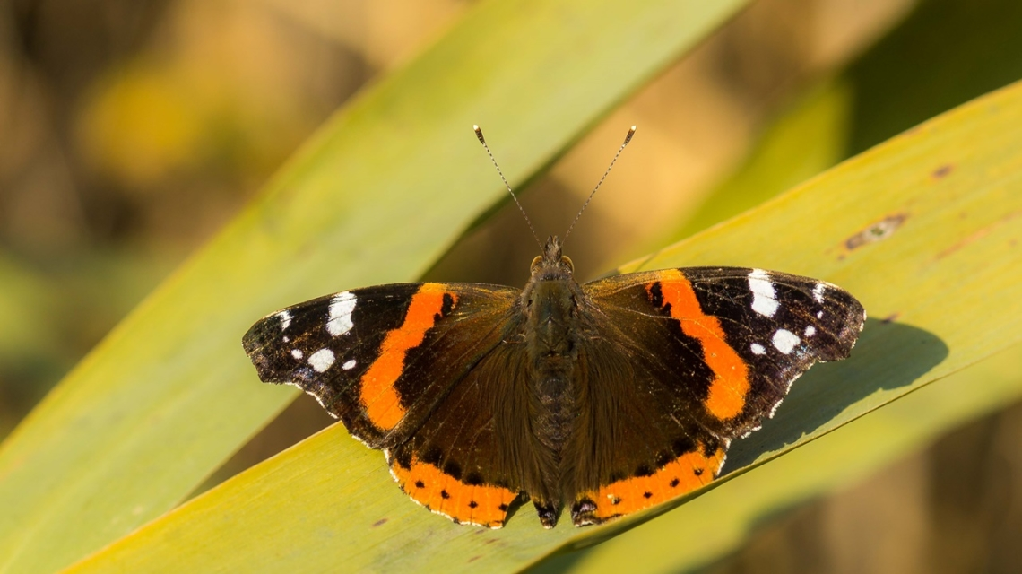 Atalanta Kelebeği