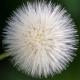 Kara hindiba çiçeği